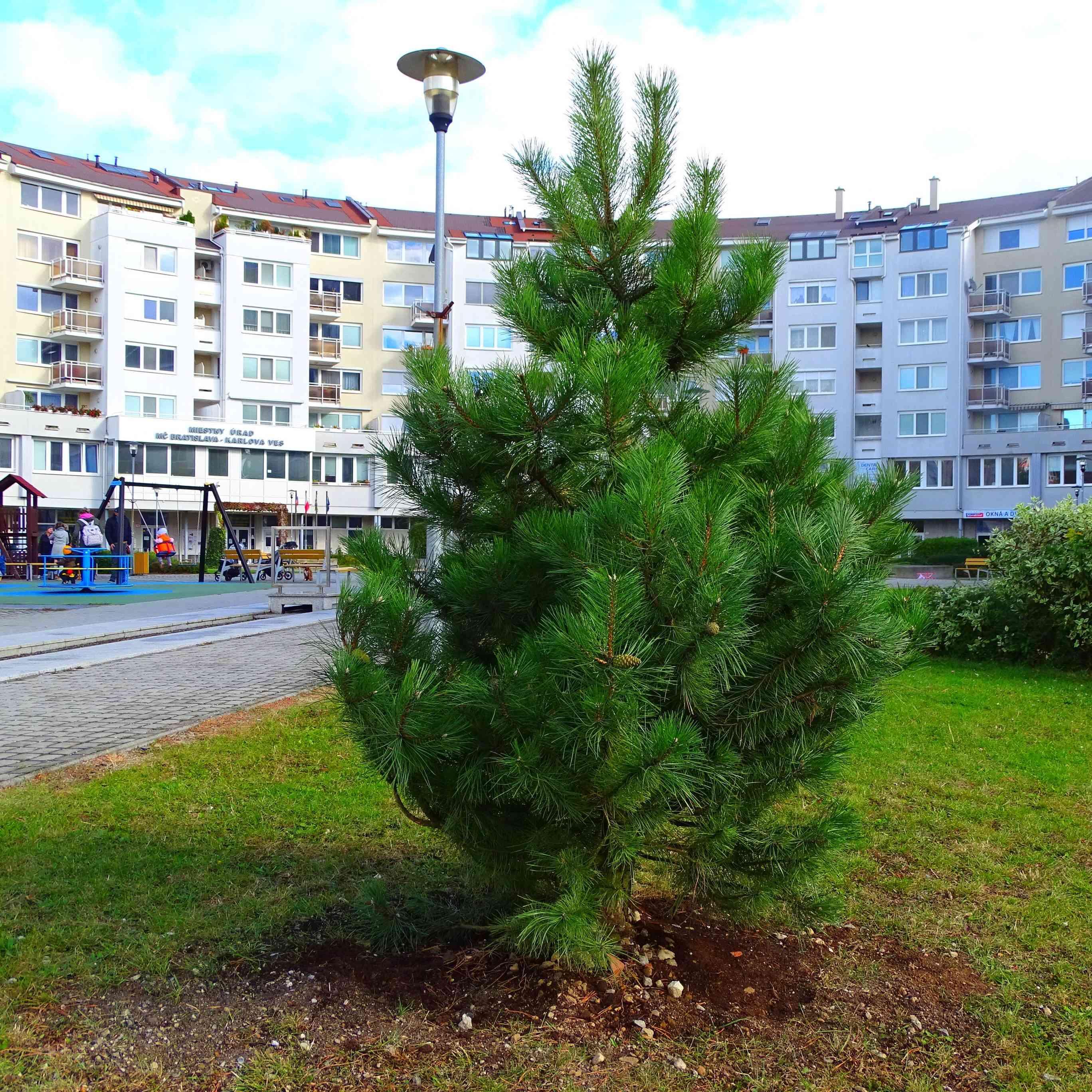 V Karlovej Vsi pribudlo v tomto roku 20 stromov a 145 kríkov