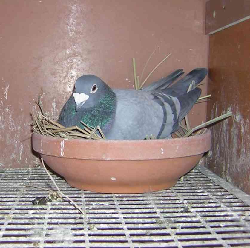 Zvýšený výskyt holubov je redukovateľný